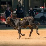 Bull Attracts Police and Onlookers in Brooklyn